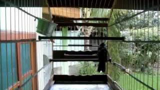 Repeat youtube video CURRUCUTIL BOI PERFEITO Mauricio marceneiro Tremembé-SP