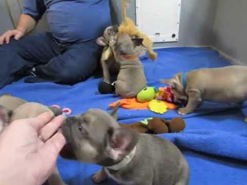 Bonnie Pups ~ French Bulldog Puppies ~ Oregon French Bulldog Breeders