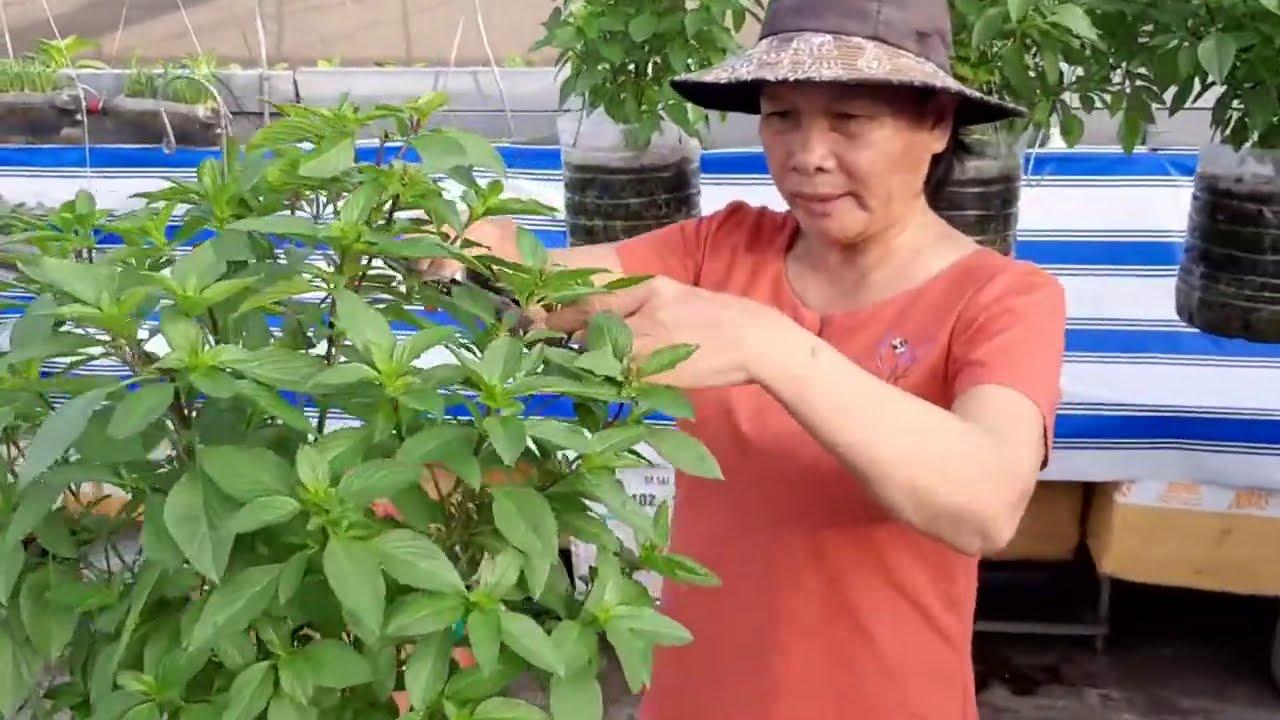 Chia sẻ cách cắt rau Quế , bón phân , cây ra nhiều nhánh , lá to  | Khoa Hien  328
