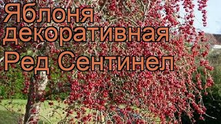 Яблоня декоративная Ред Сентинел (red sentinel) ???? обзор: как сажать, саженцы яблони Ред Сентинел