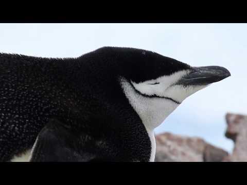 Unflexible Pinguine sterben schneller aus