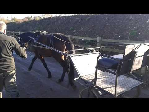 Noels horse in training.by jane carr