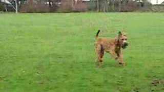 Irish Terrier Looking For His Owner