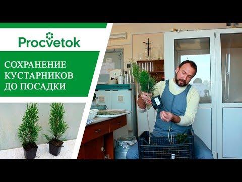 Саженцы почтой. Как хранить саженцы хвойных и лиственных кустарников, клематисы.