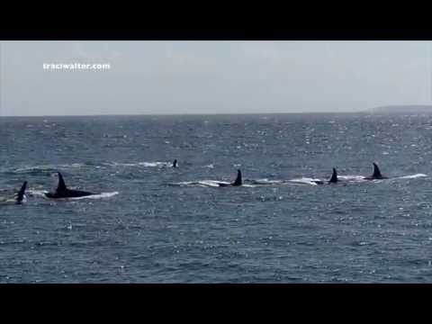 EPIC Killer Whale encounter at Lime Kiln State Park 6/3/14 Jpod and the L12's