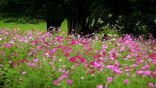 コスモスやダリアの花が咲き誇る初秋の黒姫高原・4K
