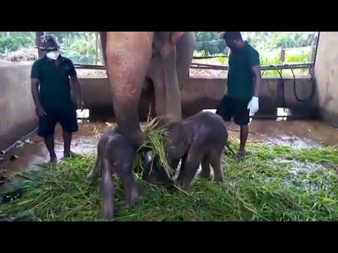 Nacen los primeros elefantes gemelos en Sri Lanka en 80 años