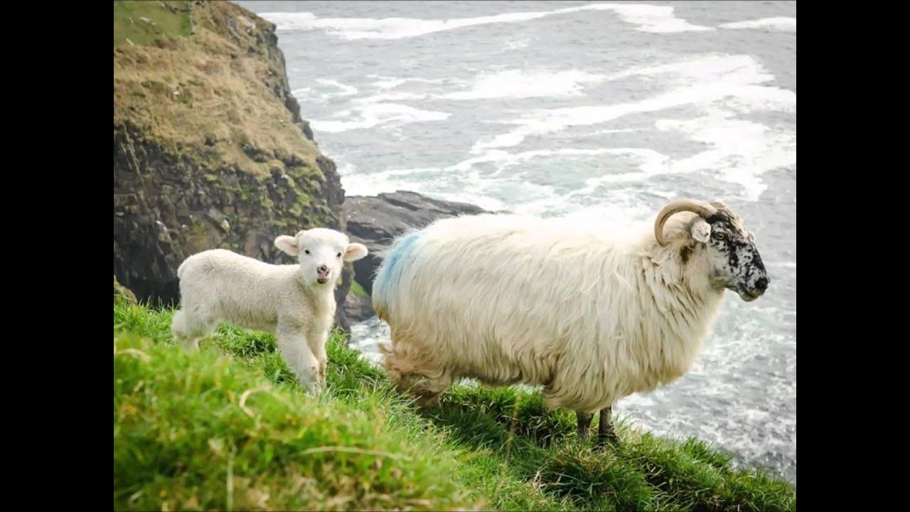 sheep and lambs youtube