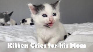 Baby Kittens Meowing for Mother