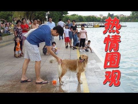 【国庆出去浪】大金毛下河游泳,引来一众路人围观,场面好热闹!