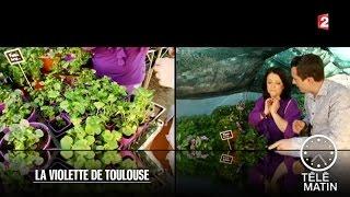 Marchés - La violette de Toulouse