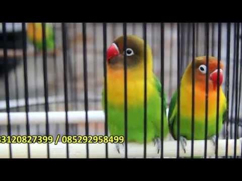 Lovebird Dakocan Sepasang Rp650rb Minat Hubungi Kami Pramahilda 083120827399 085292958499 Youtube