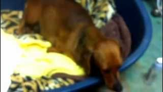 Slinky The Dachshund Gives Birth - Part 1
