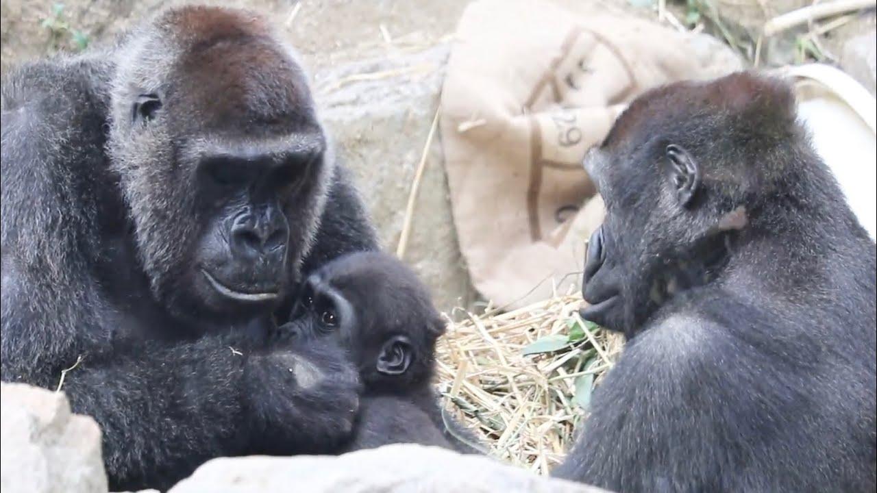 キンタロウが足を怪我⁉︎獣医さんが見た結果は..⭐️ゴリラGorilla【京都市動物園】injury? Zookeepers and vets who care about Kintaro's leg