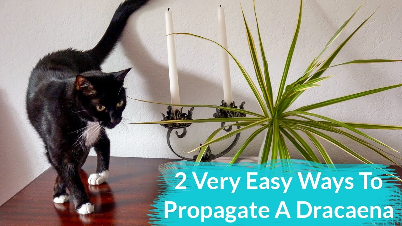 2 Very Easy Ways To Propagate A Dracaena