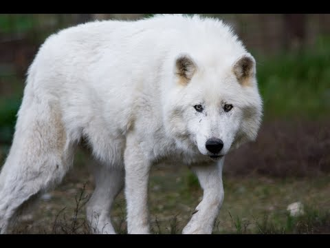 13 Things Worth Knowing About The ARCTIC WOLF