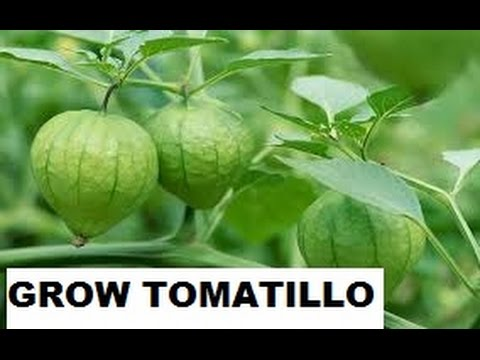 HOW TO SOW TOMATILLO SEEDS FOR GERMINATING!