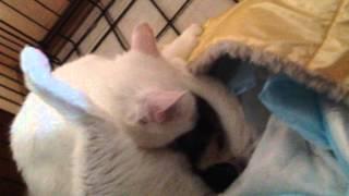 Наши первые роды. Рождение котёнка в домашних условиях. Birth of kitten at home.