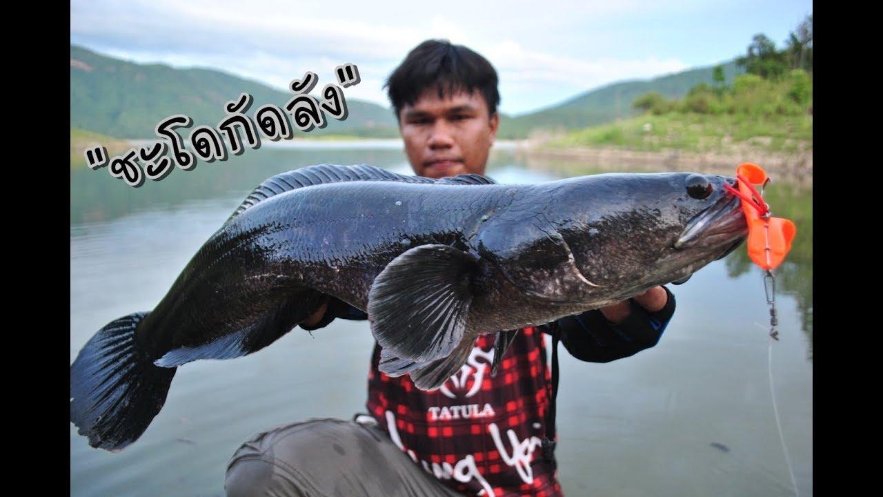 ตกปลาชะโดกัดลังด้วยตีนโตsos