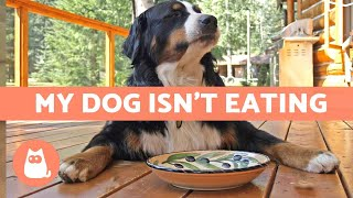 My Dog WON'T EAT Their Food  What to Do About It