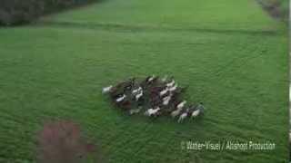 Vidéo aérienne d'un chevrier et son troupeau de chèvres sur pâture