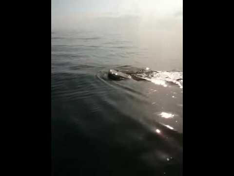 Pensacola Beach sharks