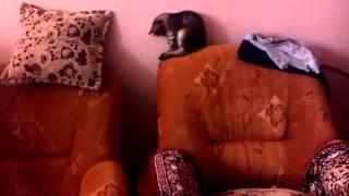Кошке не нравится свой хвост