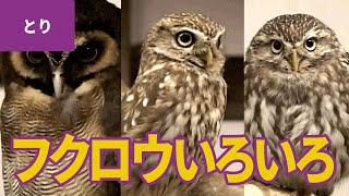 鳥のなかま(8)フクロウ(梟) □登場するフクロウ:フクロウ/メガネフ...