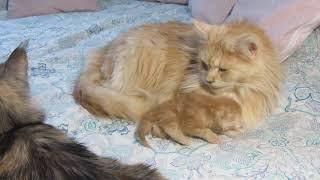 Cat hides a kitten.Кошка прячет котенка.