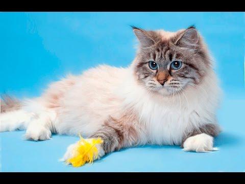 Вопрос: Какие вам нравятся породы кошек?
