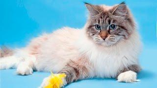 Порода кошек.Невская маскарадная кошка.Умница и красавица. Гордость русских заводчиков