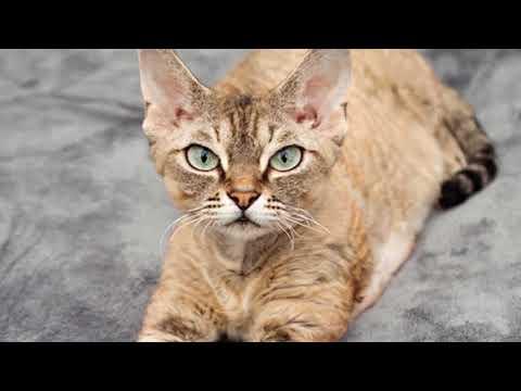 Top 7 Smallest Cat Breeds