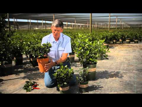 How to Prune Potted Gardenias Indoors & Outdoors : Garden Savvy