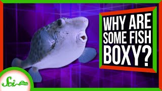 How Does a Box-Shaped Fish Swim?