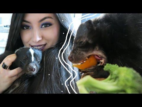 Skunk Diet | Feeding Your Pet Skunk | Pet Care