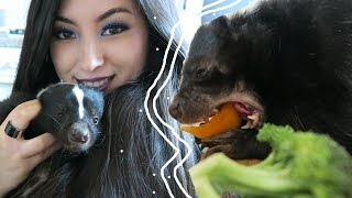One of Emzotic's most viewed videos: Skunk Diet | Feeding Your Pet Skunk | Pet Care