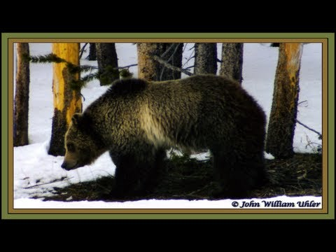 Spring Grizzly Bear in Yellowstone National Park