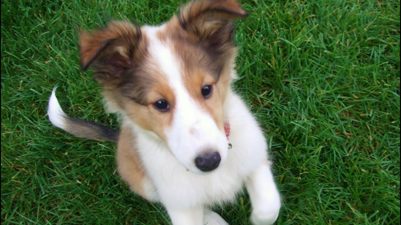Cute Sheltie Puppy Growing Up Youtube
