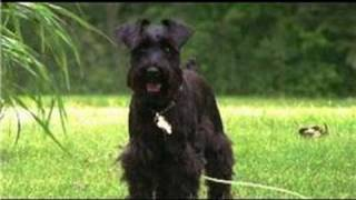 Dog Grooming : How To Groom Miniature Schnauzers