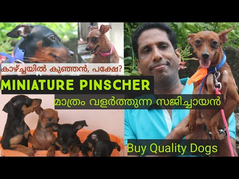 Miniature Pinscher | അടിപൊളി ഡോഗ്സിനെ വാങ്ങാം |Dogs  Kerala| Rottweiler | Labrador