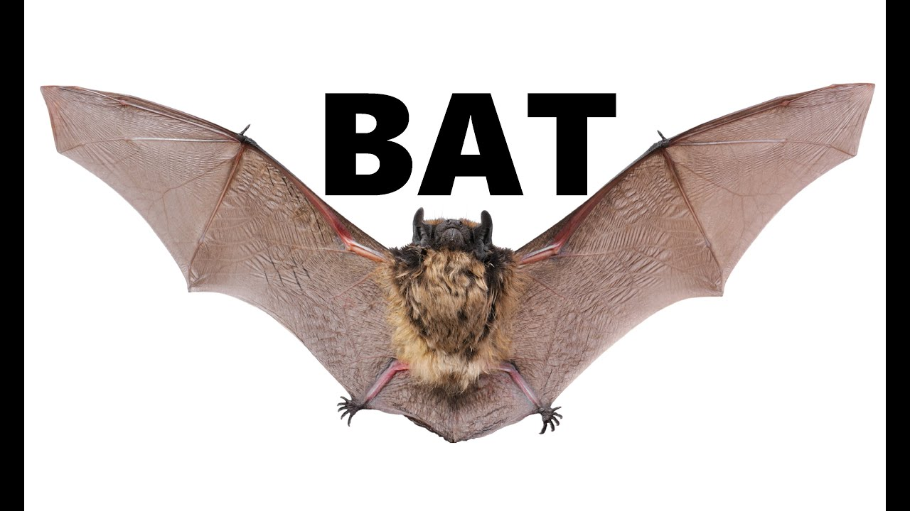 All About Bats for Kids: Animal Videos for Children ...