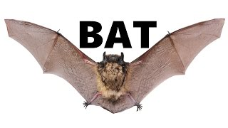 Bat: Animals for Children Kids Videos Kindergarten Preschool Learning Toddlers Sounds Songs Zoo