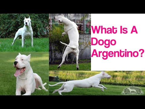 What Is A Dogo Argentino???