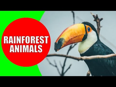 Rainforest Animals For Children – Jungle Animal Sounds And Rainforest Wildlife