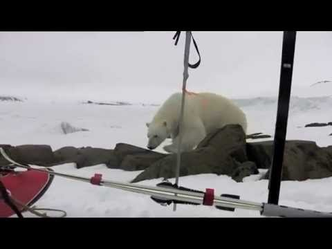 Polar Bear and narwhale on Franz Josef Land. Thomas Ulrich & Børge Ousland