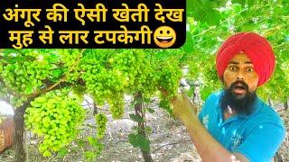 मशहूर अंगूर की खेती सीधे महाराष्ट्र से|Grapes Farming In Maharashtra India |HINDI