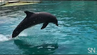 The physics of dolphin blowholes | Science News