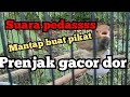 Prenjak Kepala Merah Gacor Doorr Cocok Buat Suara Pikat Burung Prenjak Liaran  Mp3 - Mp4 Download