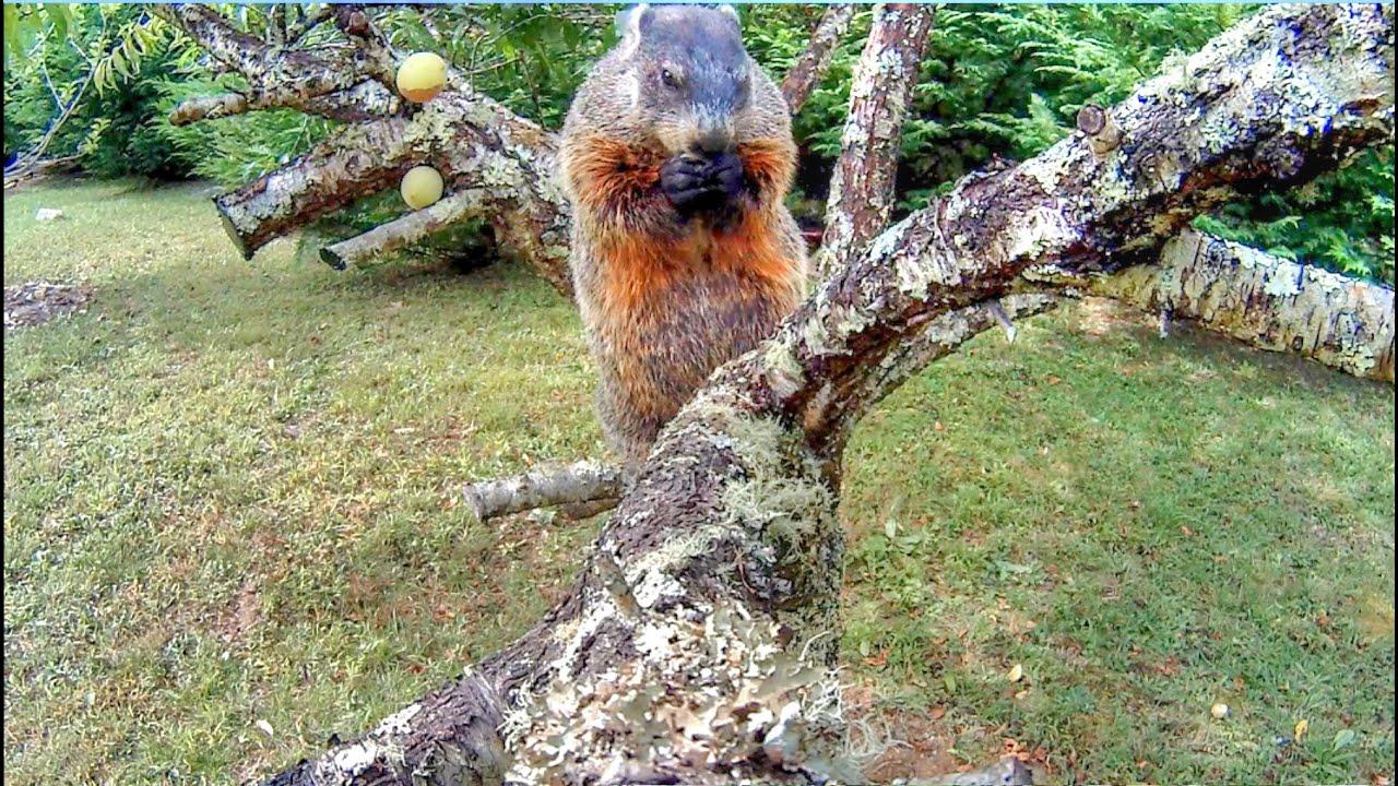 groundhogs climbing trees youtube