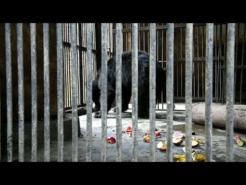 One of Nepal's last dancing bears dies after rescue